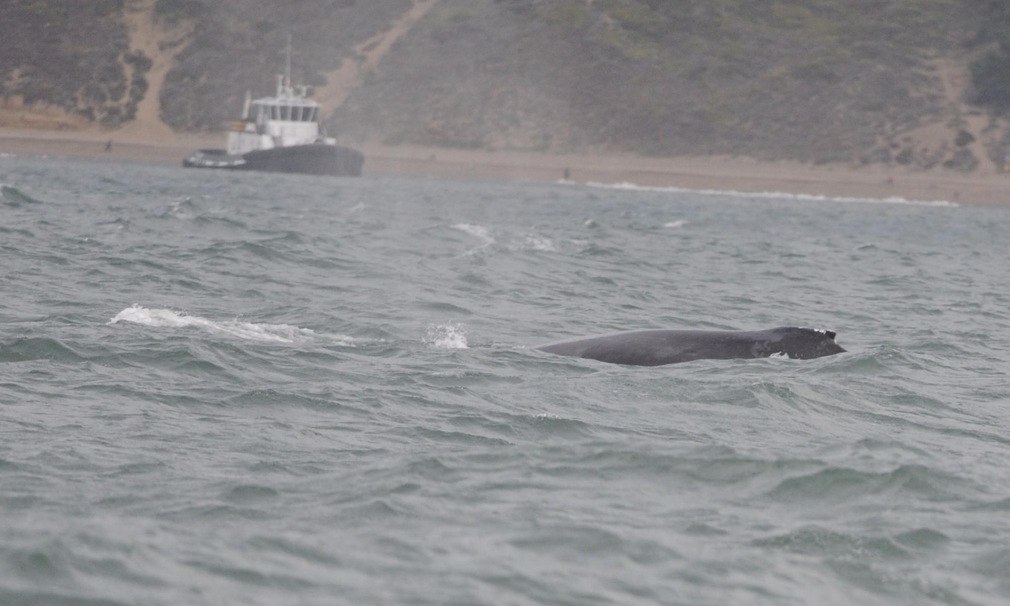 Humpback whale near a tug.