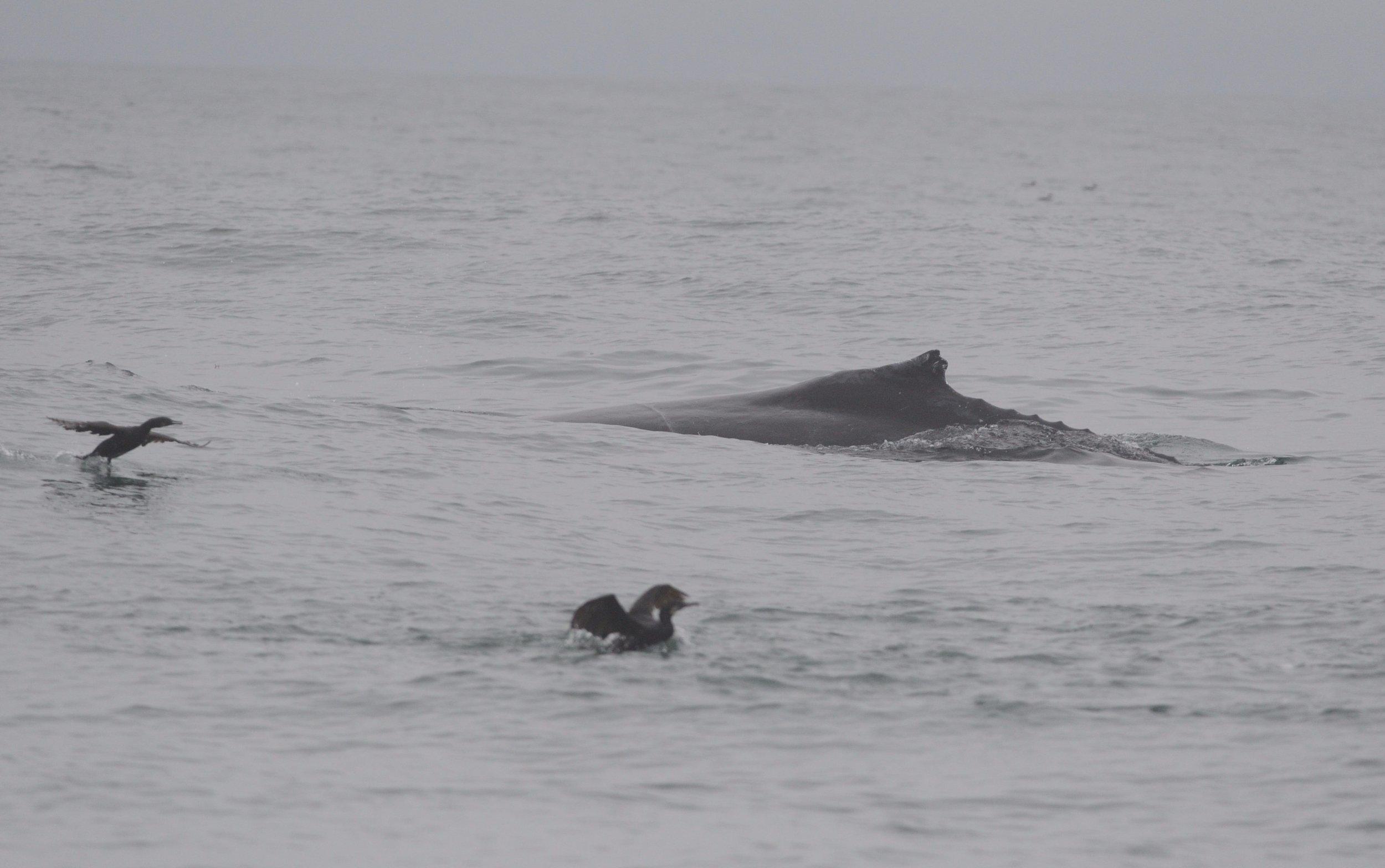 Humpback with distinctive dorsal fin.