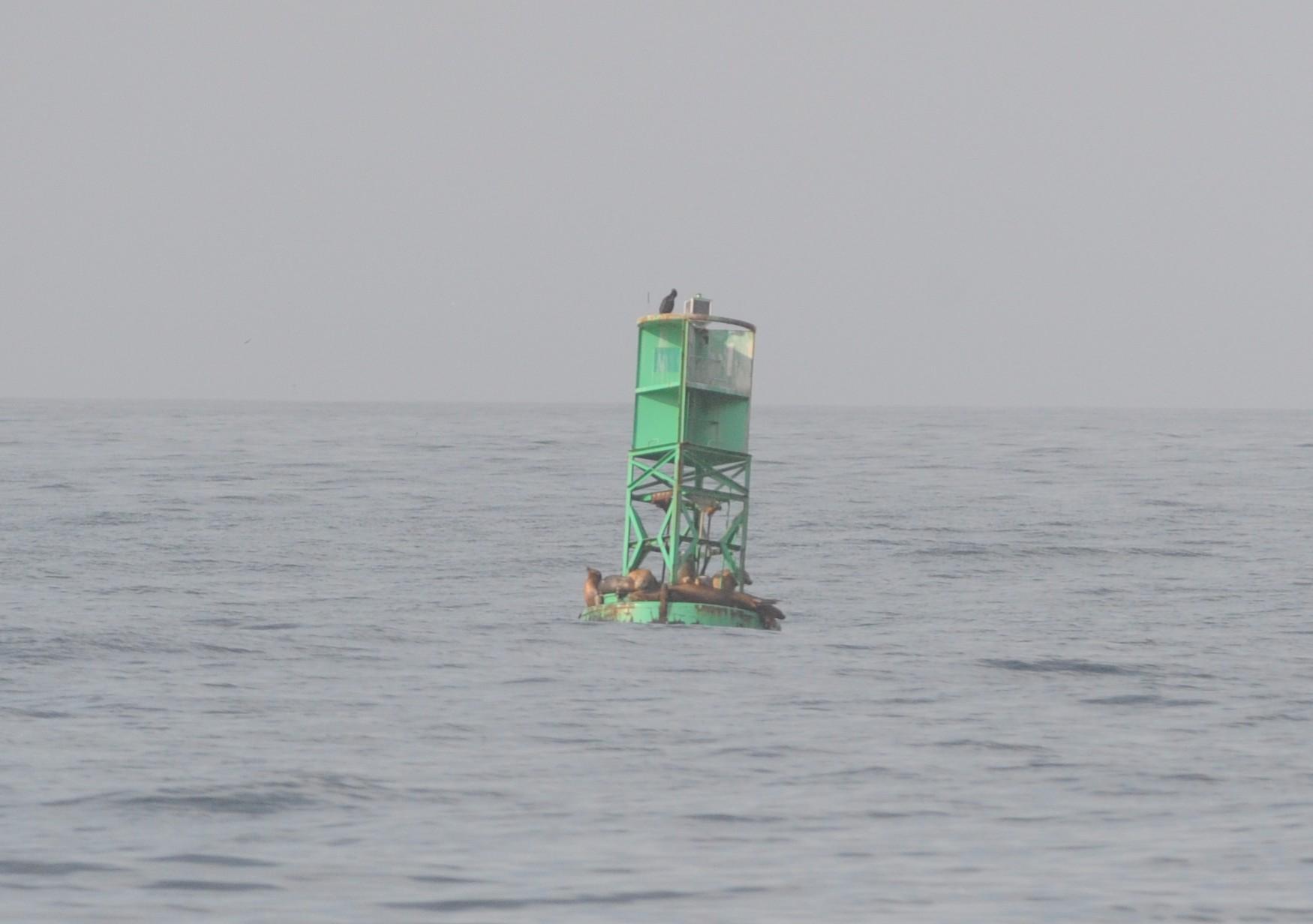 California sea lions on the shipping lane buoy.