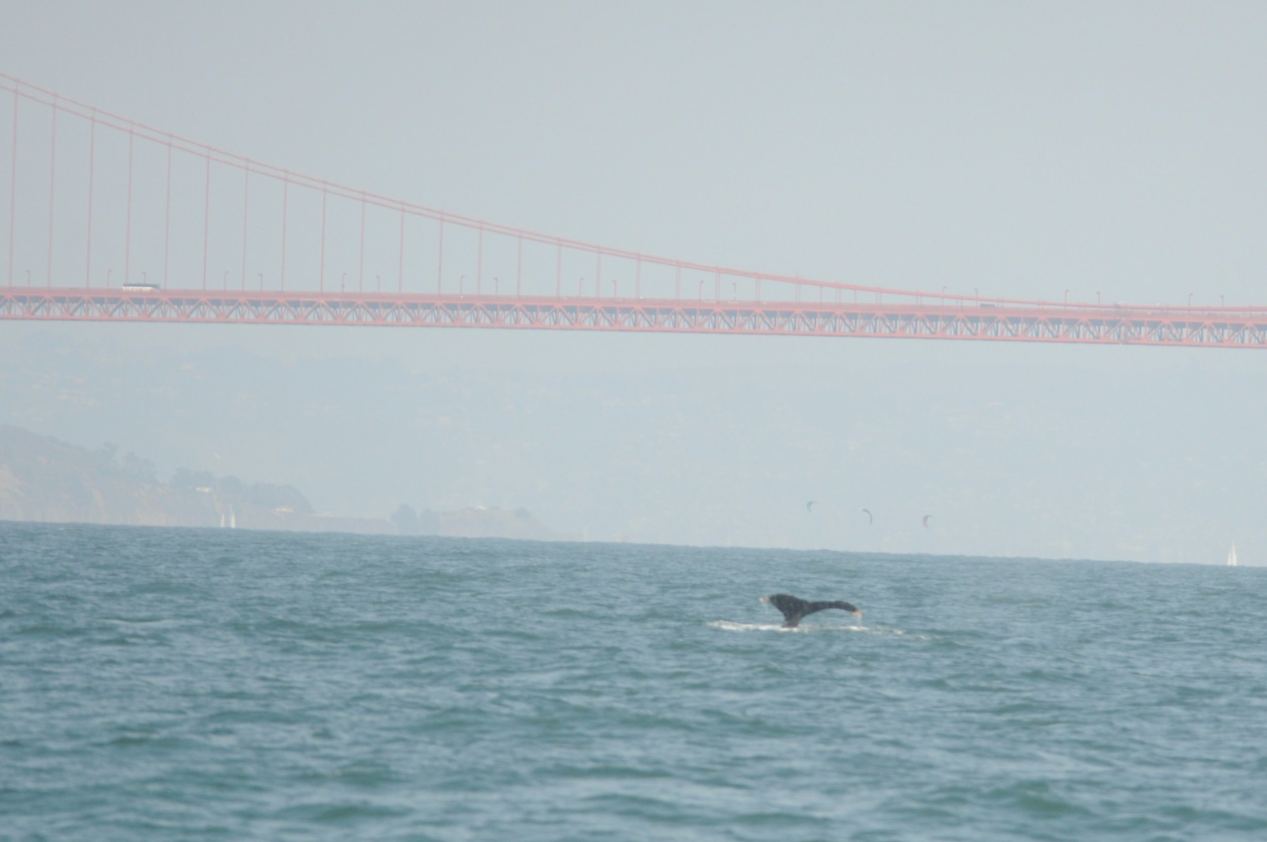 Humpback whale outside the Golden Gate Bridge.