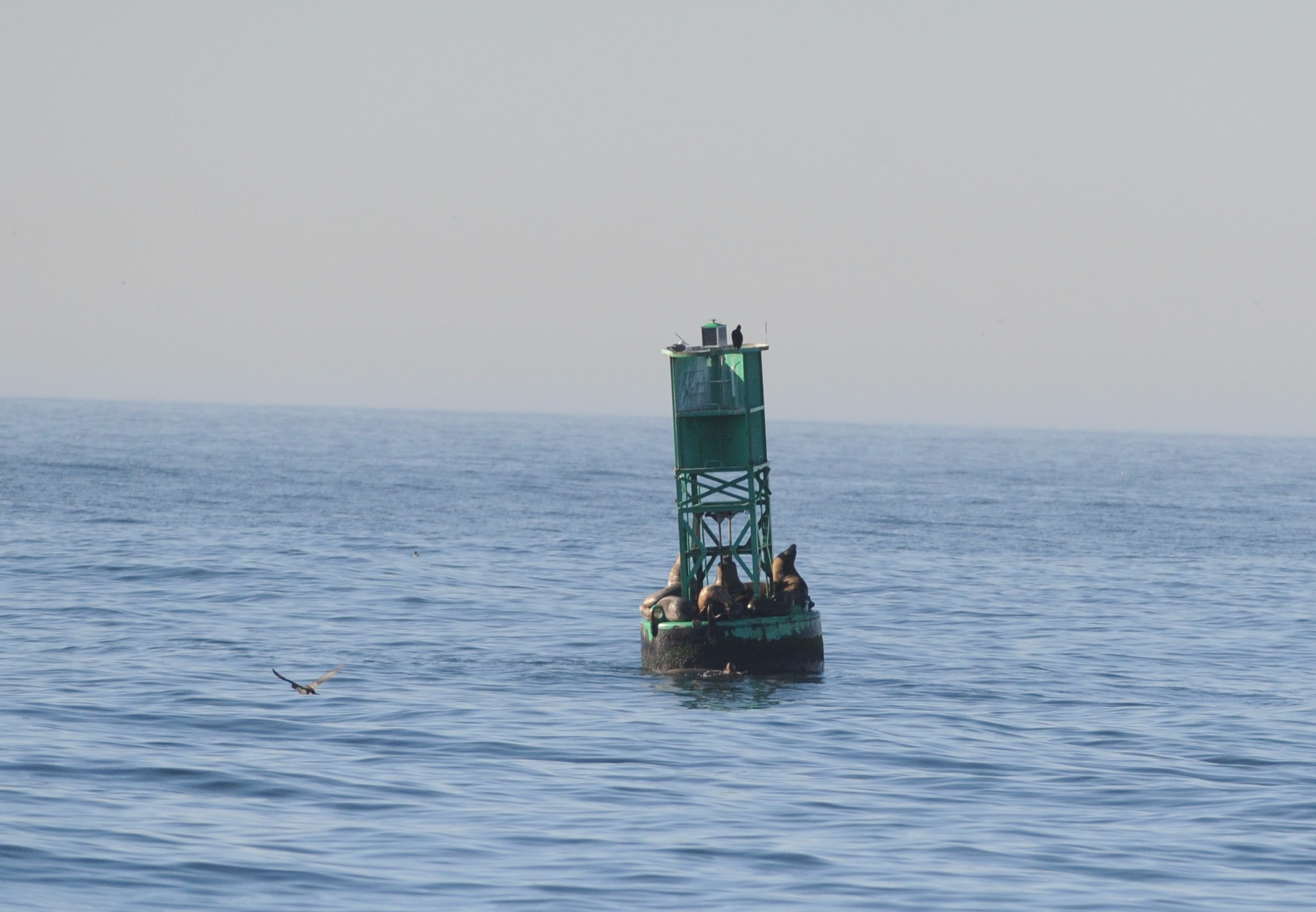 California sea lions on a buoy.