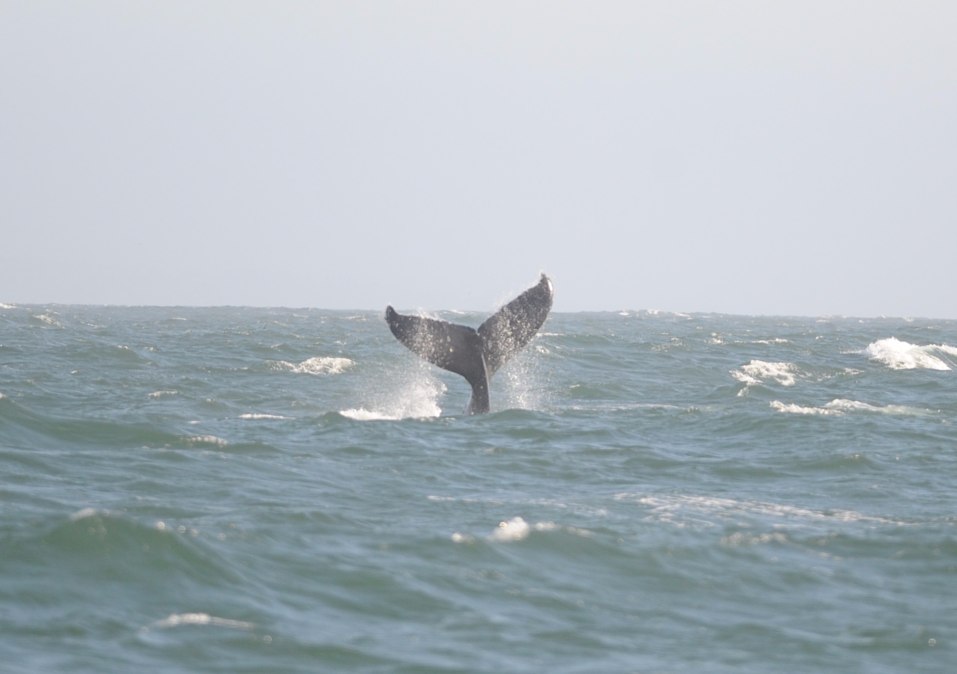 Humpback about to tail slap.