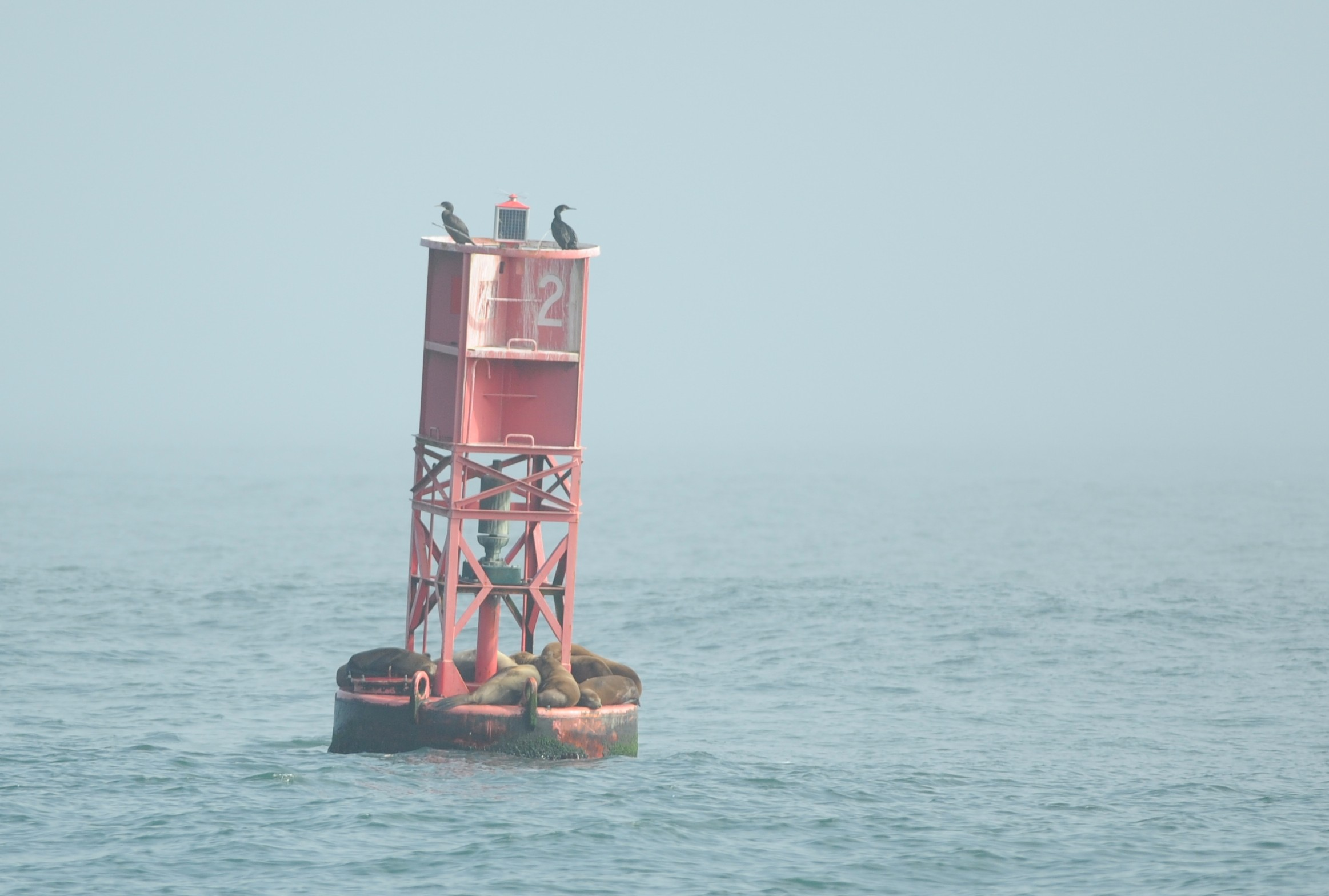 Sea lions resting on shipping lane buoy #2.