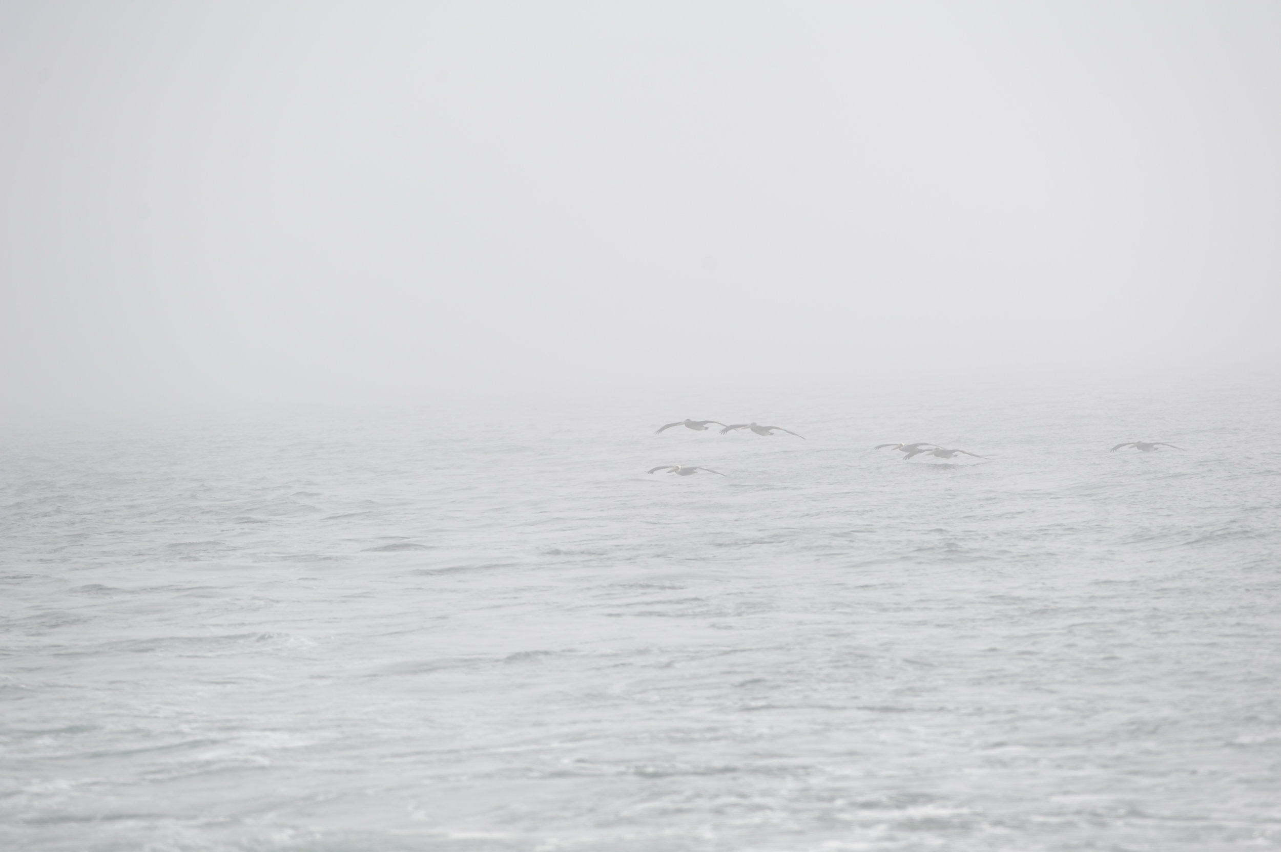 Brown pelicans gliding through the fog.