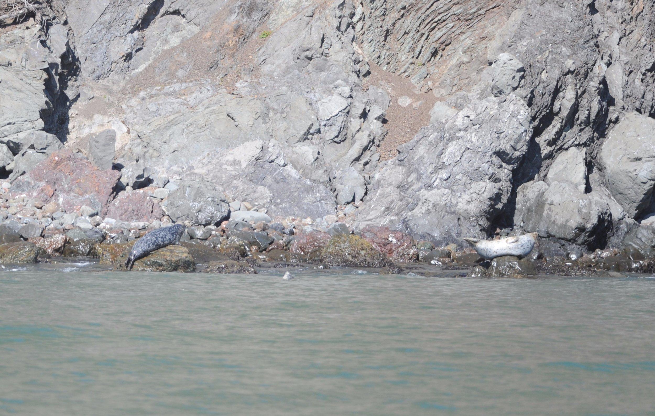 Harbor seals resting on the rocks in Diablo Cove.