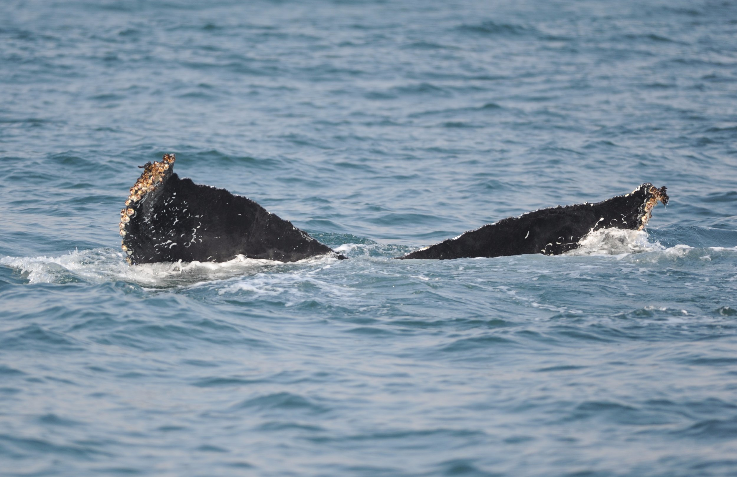 The edge of a humpback fluke.