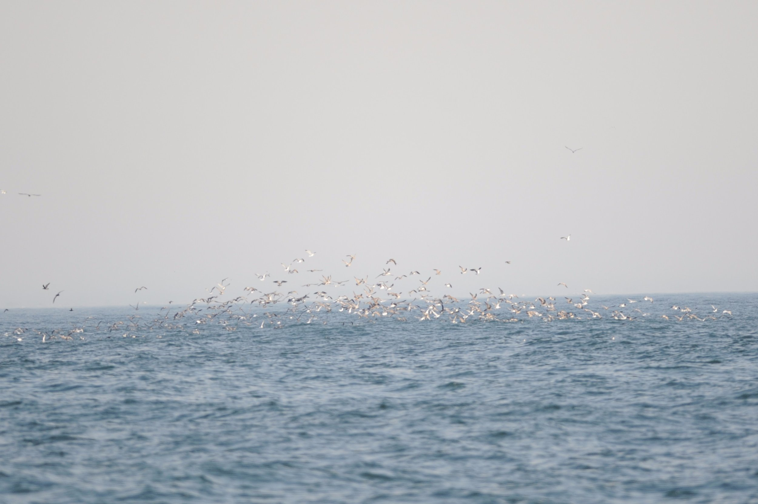 Huge group of birds hovering over a bait ball.