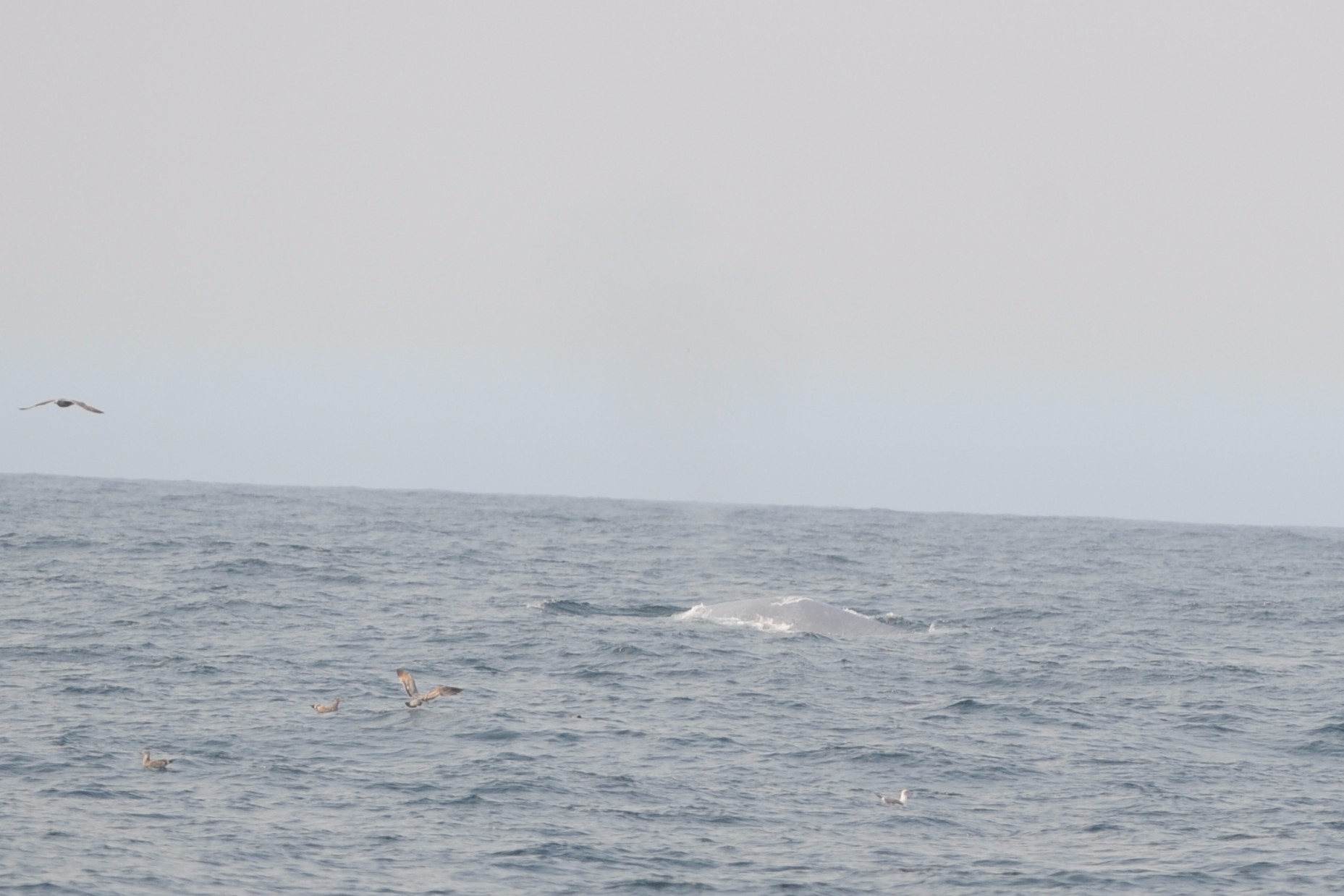 The light-gray back of a blue whale.