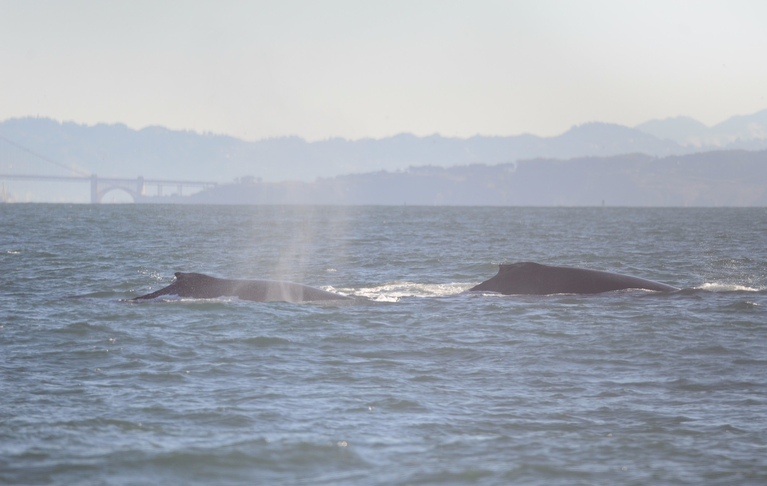 Humpbacks with the Golden Gate Bridge in the background.