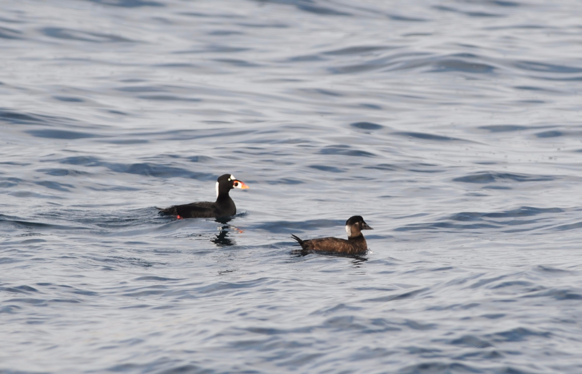 Surf scoter male and female pair.