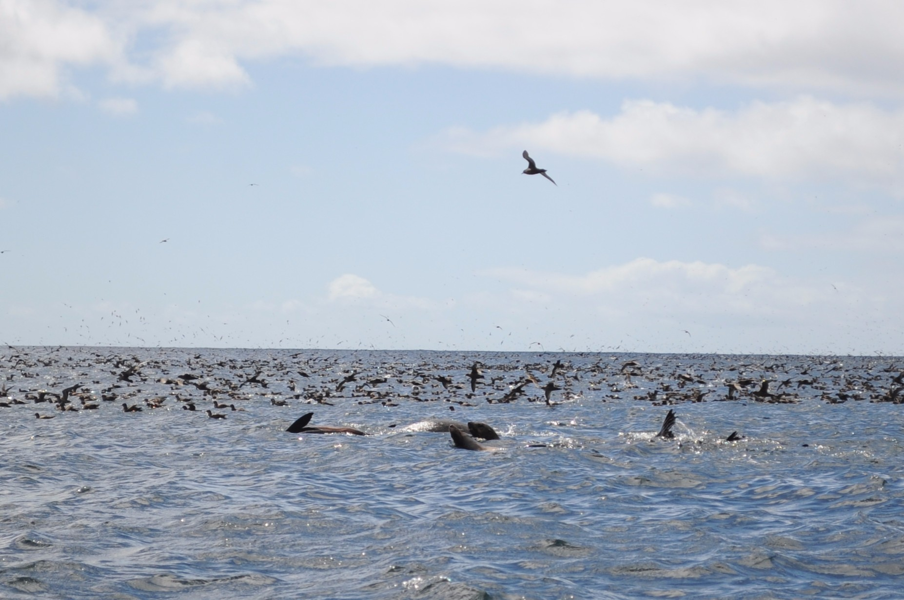 Fur seals in the water with the shearwaters.