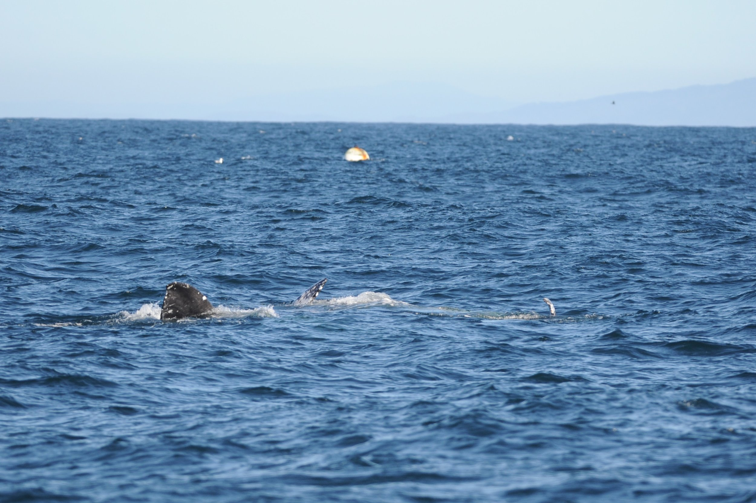 Whales floating on their sides, bellies facing each other. You can see one lobe of a fluke and some pectoral fins sticking out of the water. A few gray whales display mating behavior on their migration south, especially if they're later in the season.