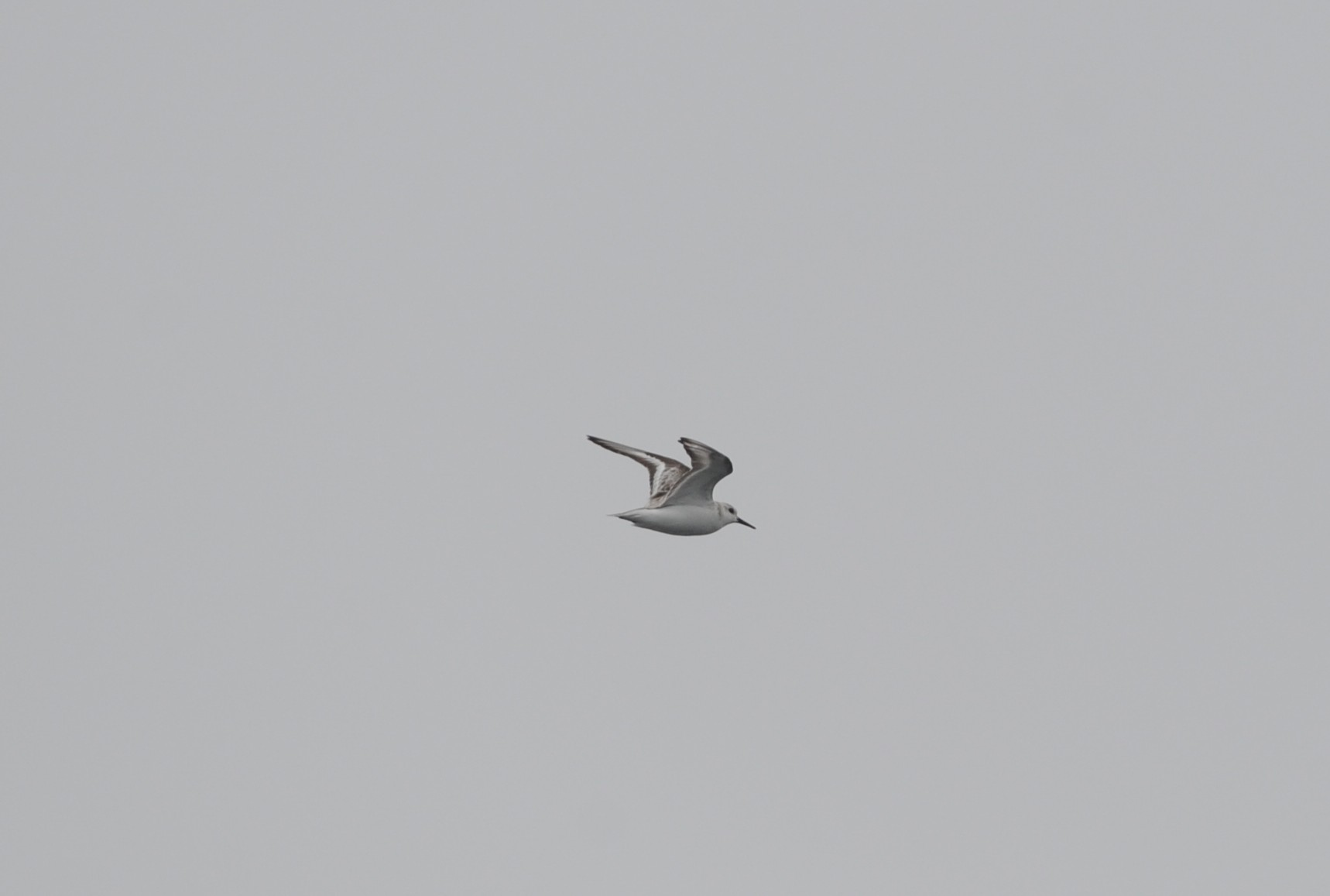Sanderling, usually a shorebird.
