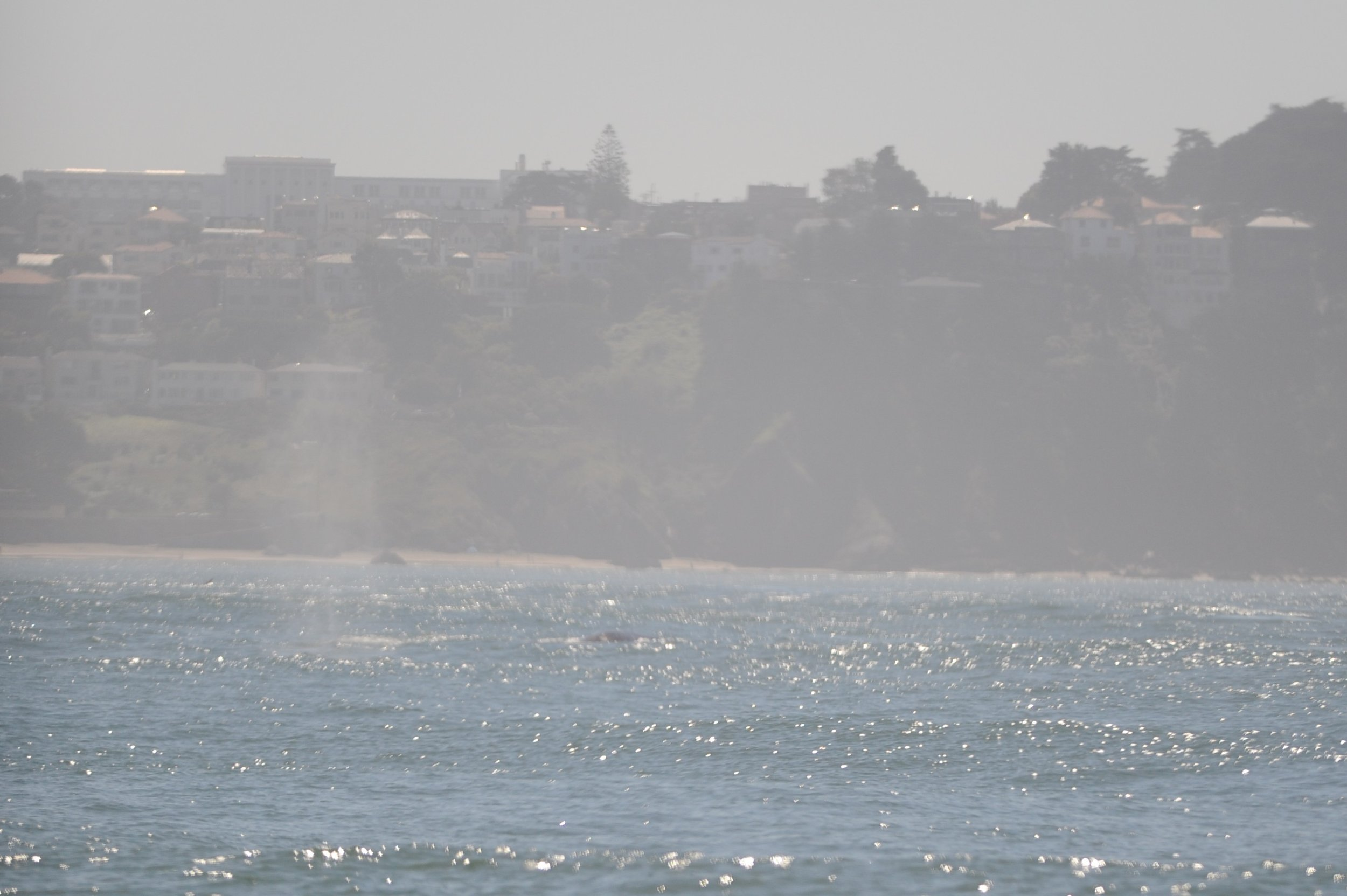 A gray whale spouts from afar.