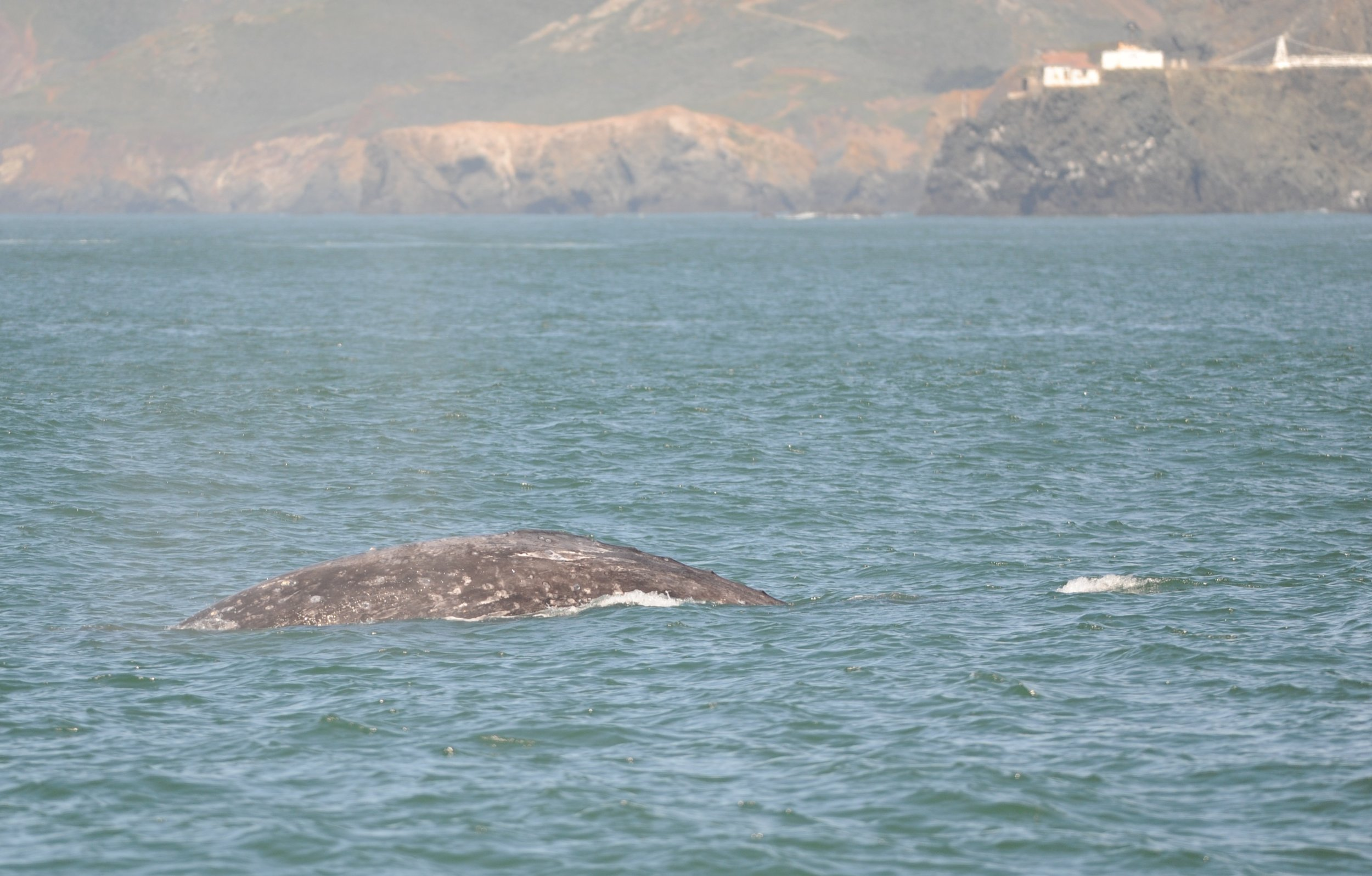 A gray whale with Point Bonita in the background.