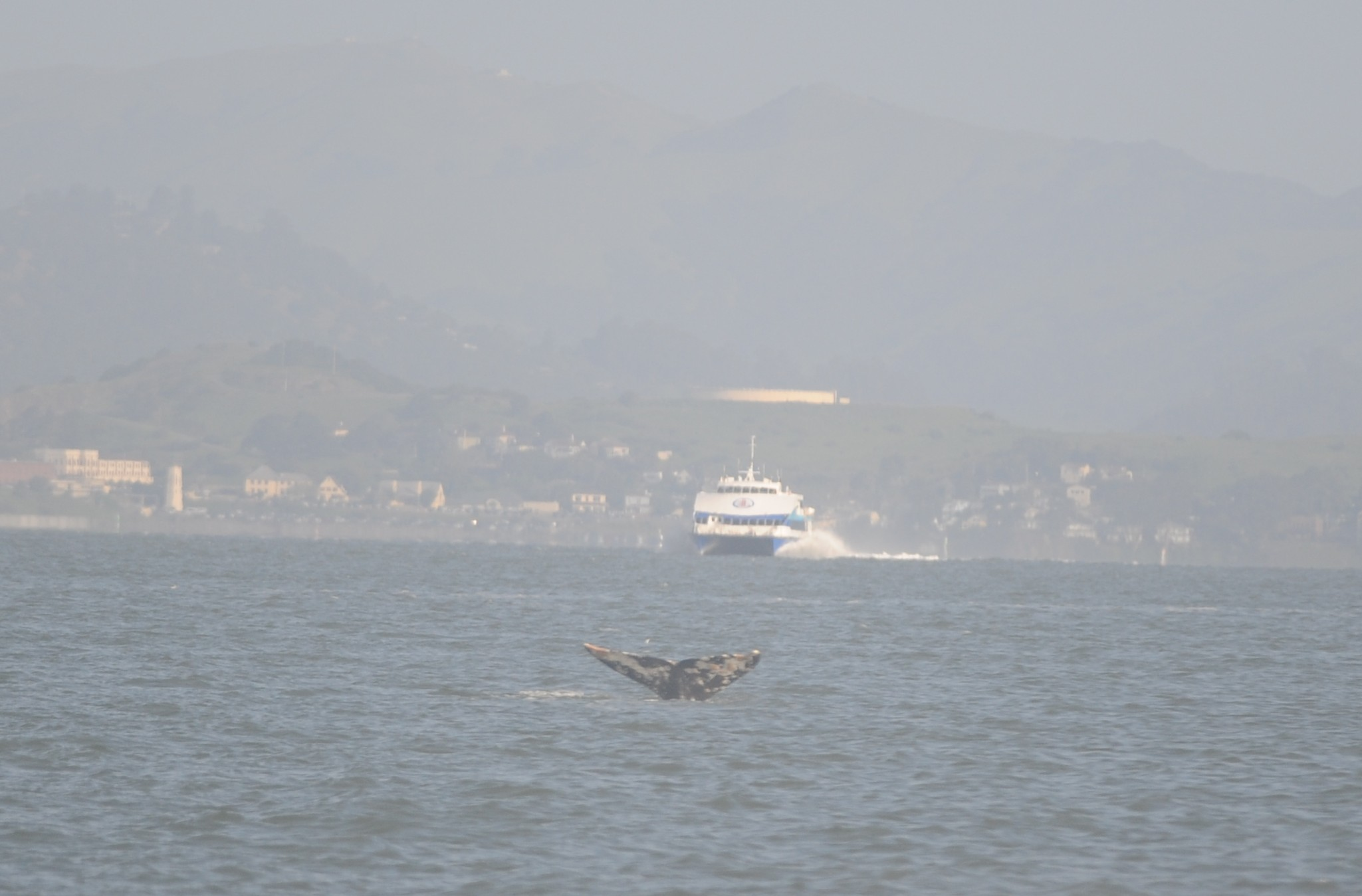 A ferry approaches a whale.