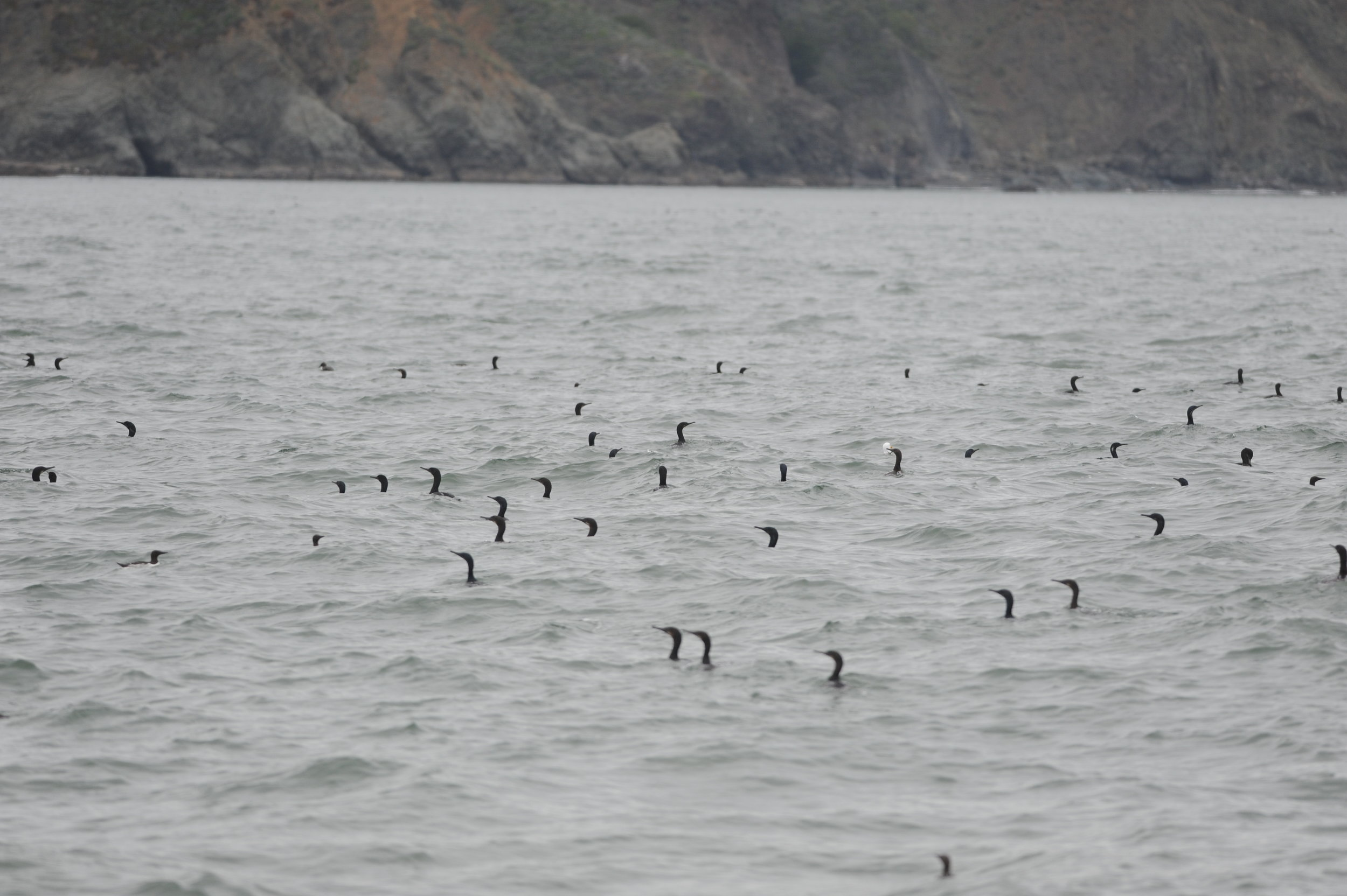 Cormorants near Point Bonita.