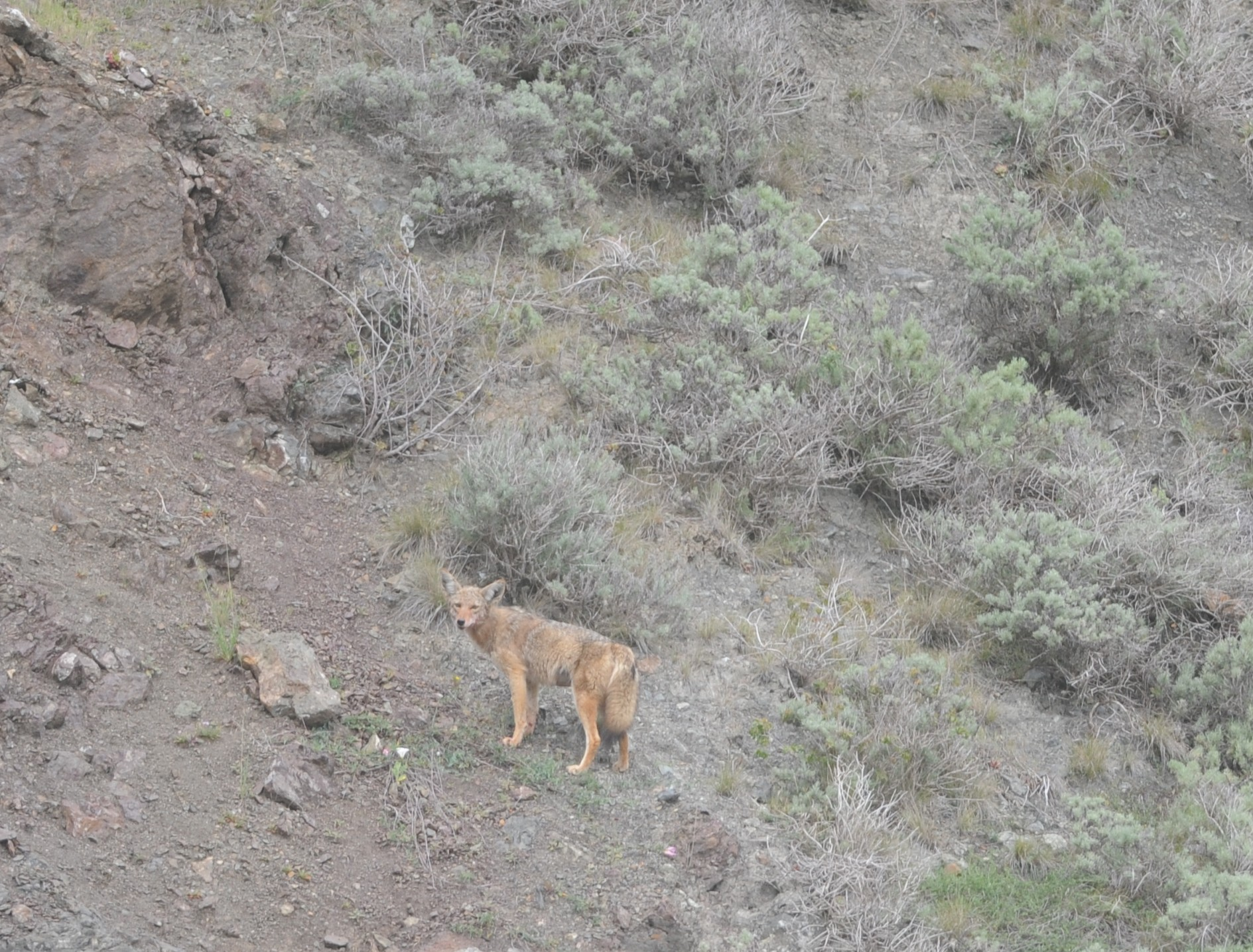 Coyote on the hills above the harbor seals.