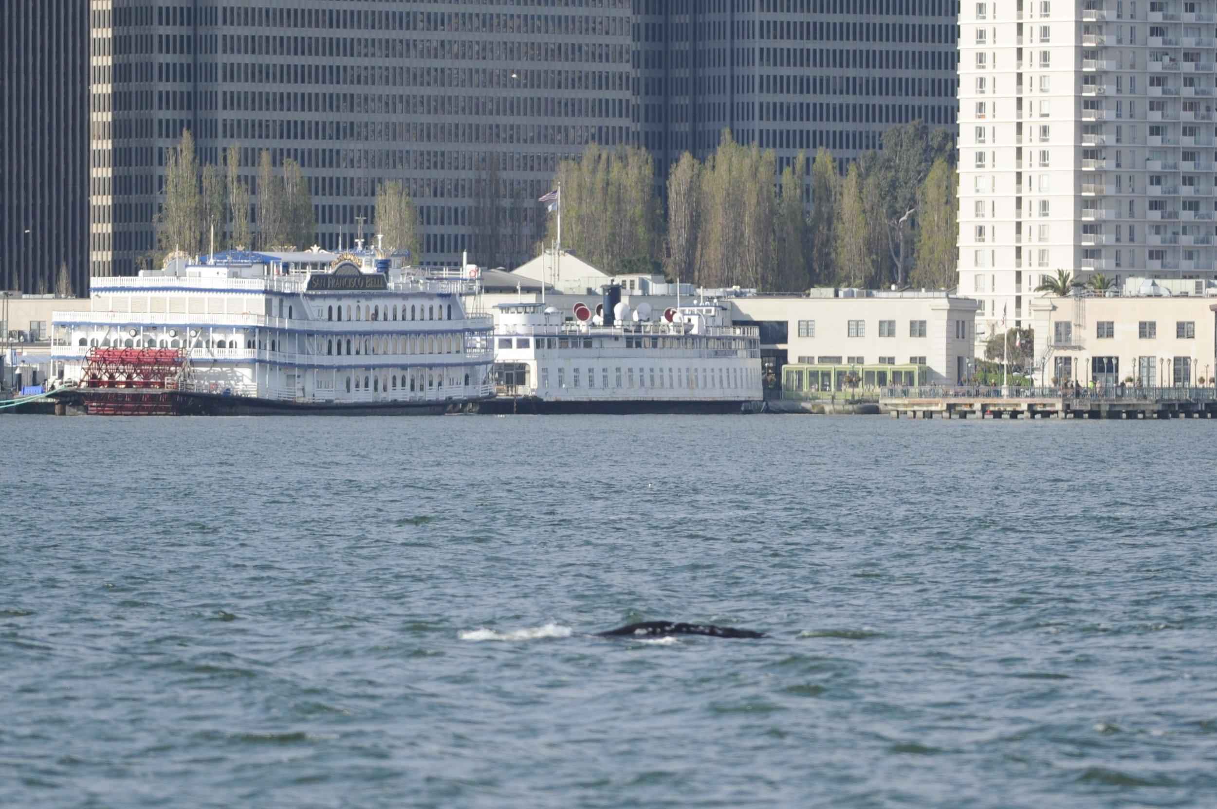 Gray whale surfaces near the Bay Bridge.