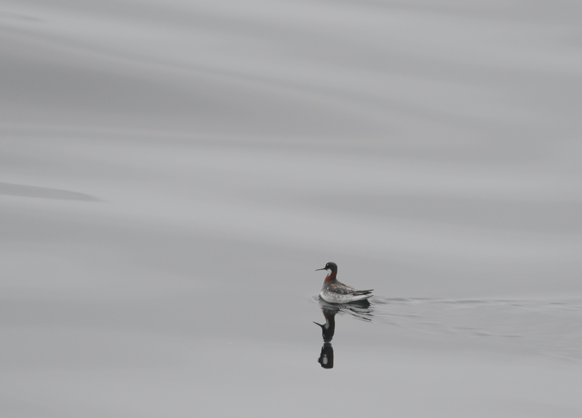 A red necked phalarope near the Farallon Islands.