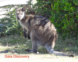 Bennett's Wallaby typically appear in the early mornings and late evenings all around Tasmanian nature areas.