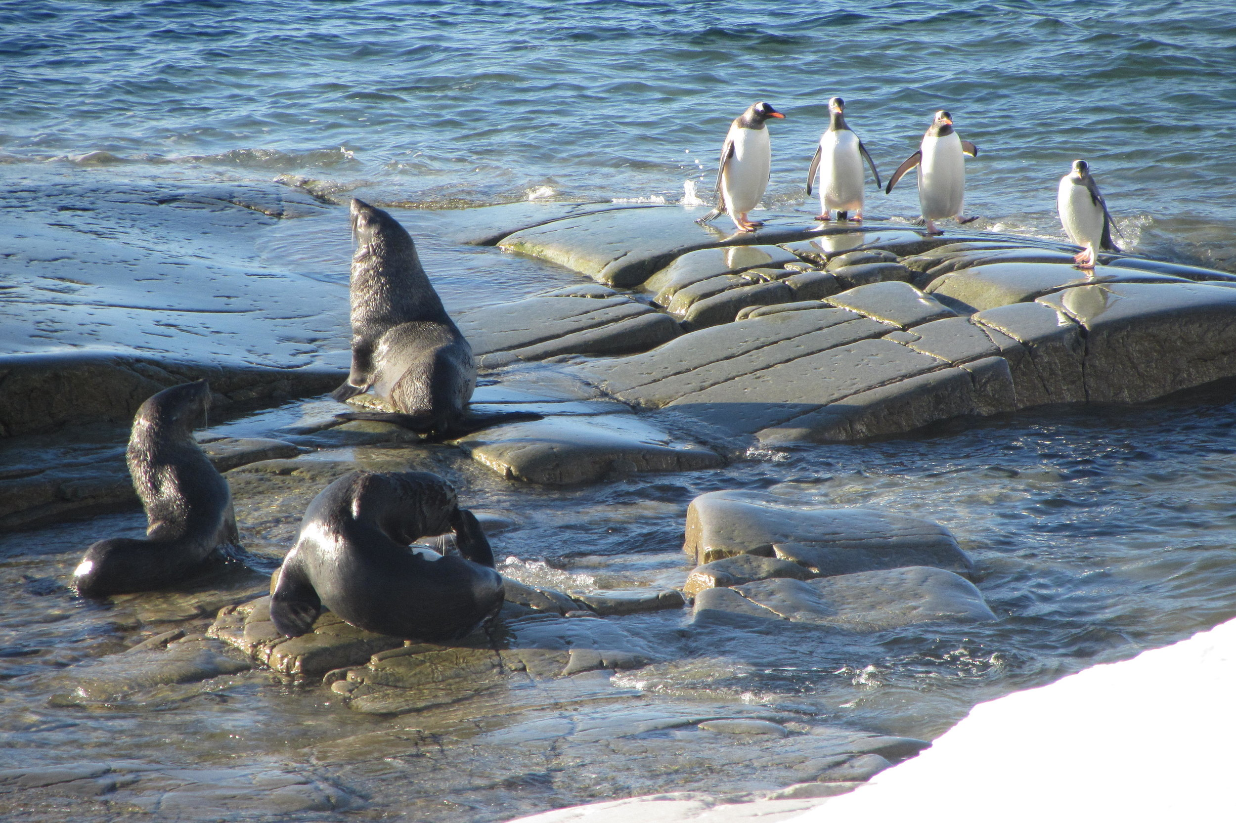 Fur seals and Gentoo penguins basking in the sun. (Picture Credits: Ashish Saxena)