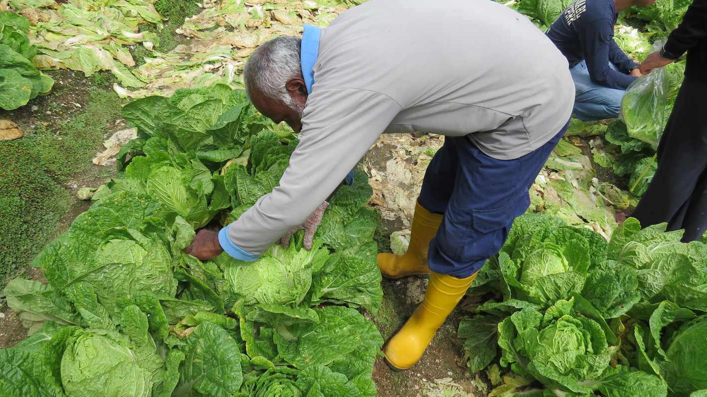 Farmers such as Vellasamy learn of biological solutions and other environmentally-friendly practices in growing cabbages at the Farmer Field School.