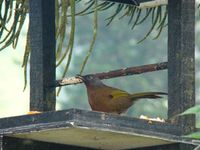 Write here...Chestnut-crowned laughingthrush is found in upper montane only.