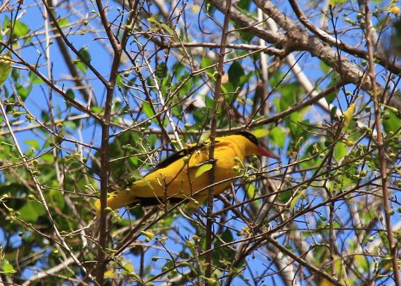 A Golden Oriole perched atop a tree on blissful Moyo Island