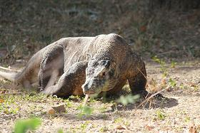 A Komodo Dragon on the prowl.