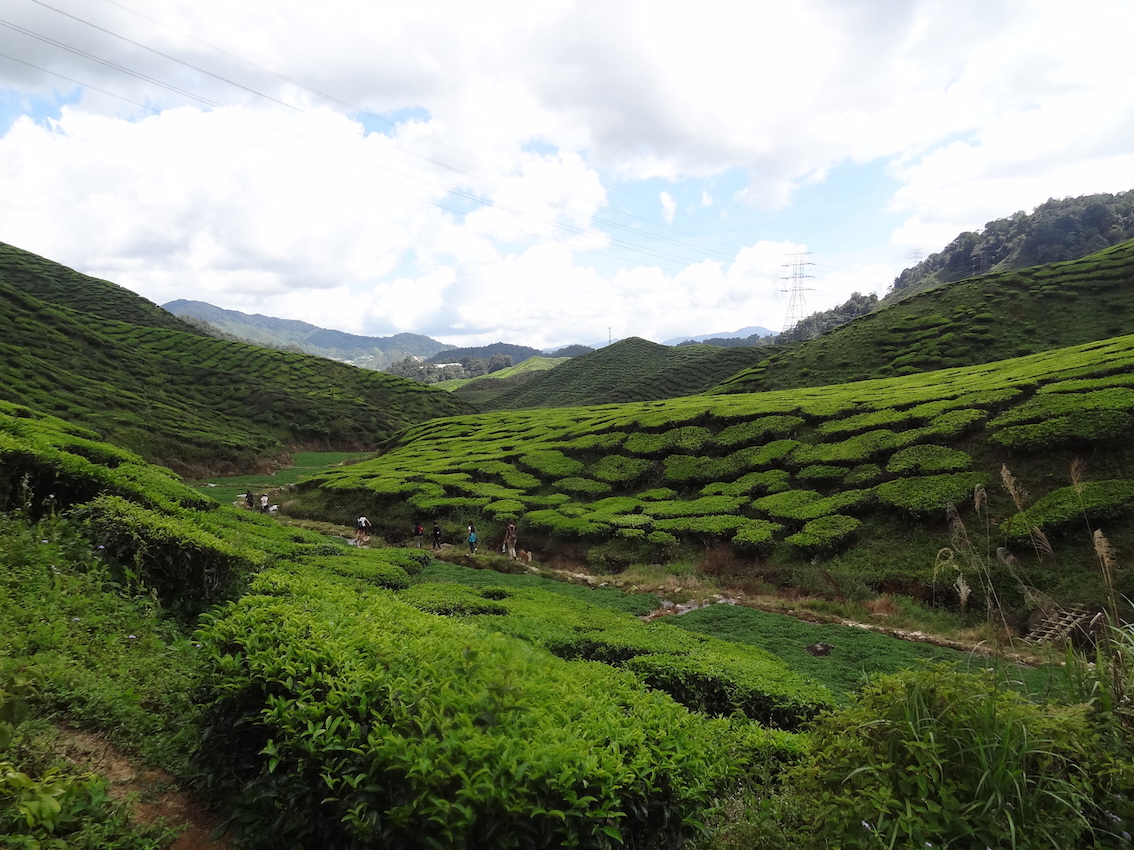 Drink tea and walk among the tea shrubs after a descent from Gunung Jasar (Path 10) and learn about the world of tea in Cameron Highlands.