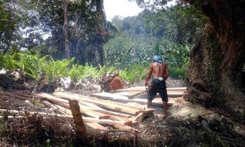 An old tree in Kinuskasan, Bansalan, Davao del Sur is cut and harvested for the building of a new house. Tree farming amidst other crops in the Philippines has agricultural potential and can help repair denuded mountains as well.