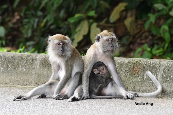 Human animal conflict in Singapore involve the native long-tailed macaques.