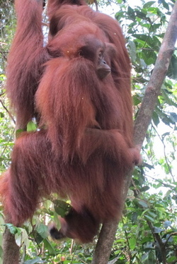 Deforestation due to palm oil particularly has caused loss of habitats and wiidlife. Picture courtesy of Rio Helmi.