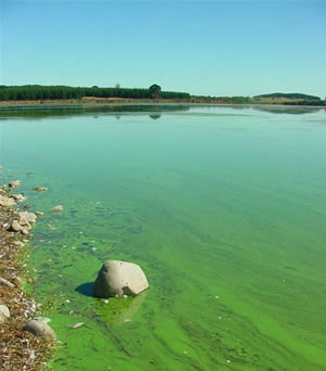 Cyanobacteria pollution found in a number of NZ lakes including Lake Horowhenua.