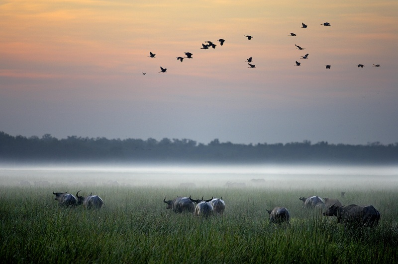 Bamurru buffaloes at the Sampan River joining the scenic landscape full of wildlife.