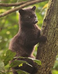 The lubak or civet is a resident of Bali and can be found in the nature reserves there