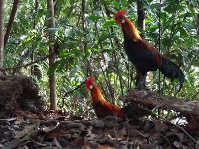 Labrador Nature Reserve is home to many wild birds in Singapore including these Jungle Red Fowls