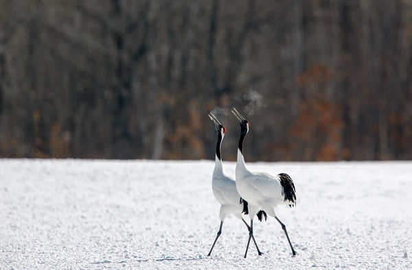 The nuptial dance of the Red Crown Cranes of Japan captured by Michel Rawicki