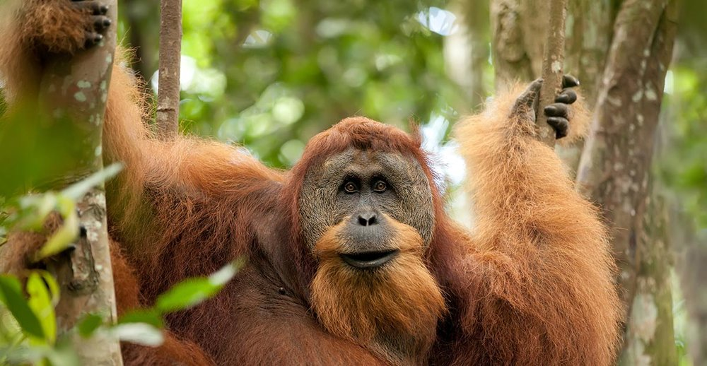 See orangutan in their natural habitats with Chickenfeet Travels