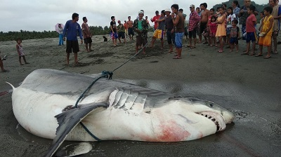 Sharks in the Philippines are seeing a dramatic reduction in numbers. Courtesy Eddie Fabrigas Rebueno.
