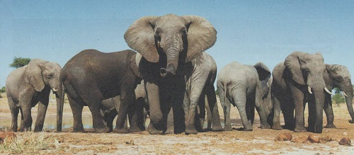 In Botswana, elephant numbers are rising - so local people need to learn how to live with them. Courtesy J.Gifford.