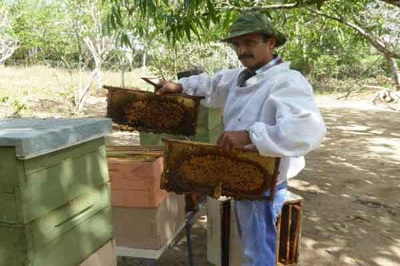 Cuban beekeepers usually work with a cooperative. Courtesy Periodico