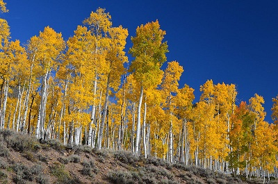 The Pando aspens are part of one of the US National Forest Parks' key species. Courtesy Zapell-PD