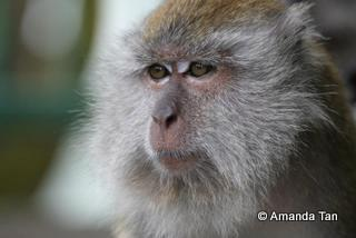 Long tailed macaques are an endemic Singapore species. And each one of them is unique with a distinct personality.