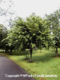 Tampines was named after this tree