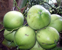 Coconuts have many healing properties