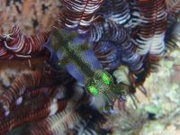 Cuttlefish in camouflage. Pic by Akiko Tada.
