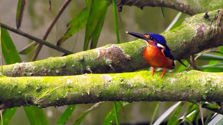 The Blue-eared Kingfisher, native to the Central Catchment Nature Reserve, will be in dire straits if waterways get polluted due to construction. Photo courtesy of Chloe Tan.