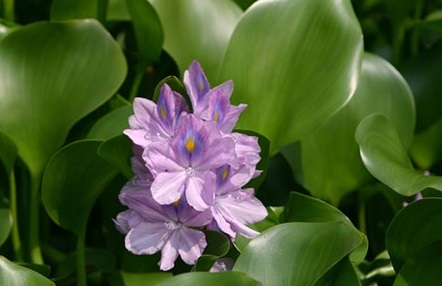 waterhyacinthwithflower_502738_7.jpg